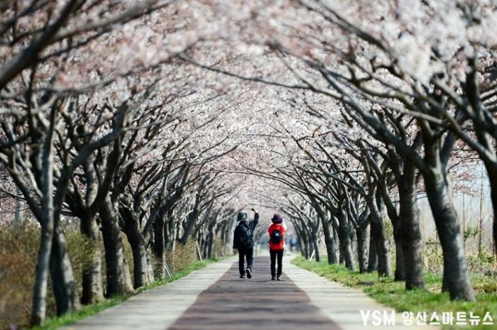 최철수-벚꽃길-2012-O136.jpg