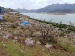 양산은 지금, 원동 매화꽃 축제가 한장이다.(2)