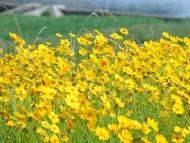 포토뉴스 ㅣ 양산 천에는 지금, 금계국 꽃이 만개 했습니다. 이곳은 금계국 꽃 군락지 입니다.