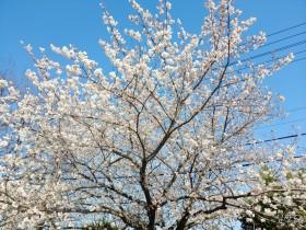 양산의 아름다운 벚꽃과 진달래꽃/심상도/동남문화관광연구소장